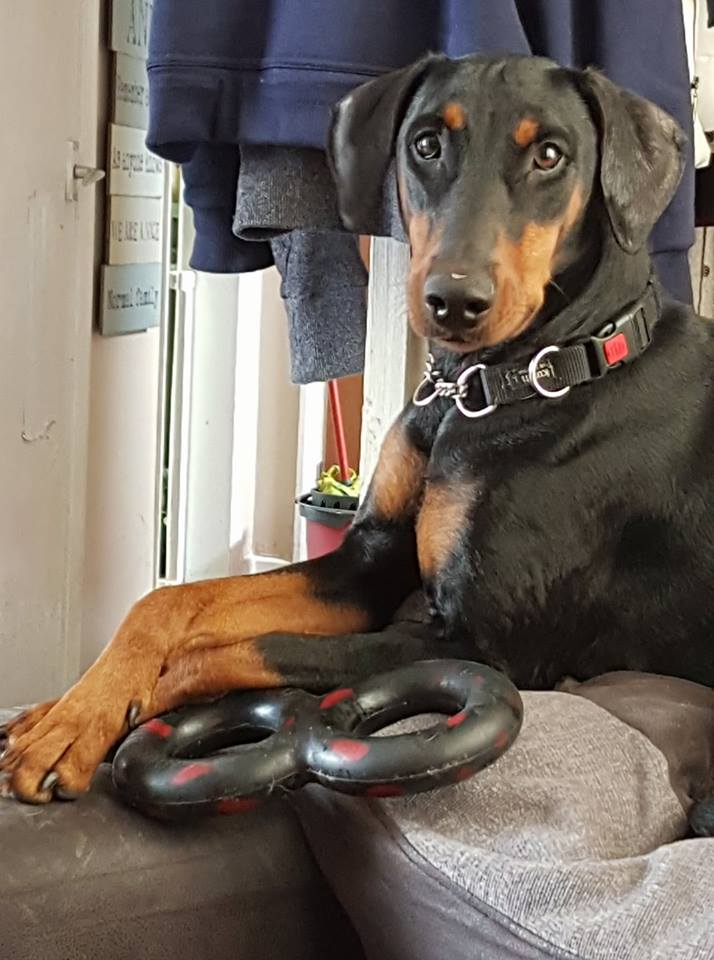 Indestructible strong toy for dobermans