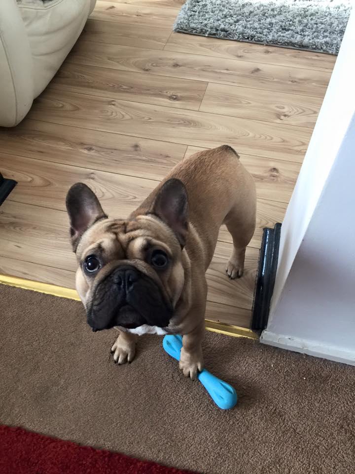 Durable chew toy for french bulldogs