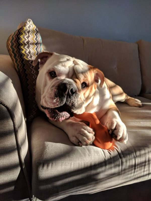 Indestructible dog toy for bulldogs