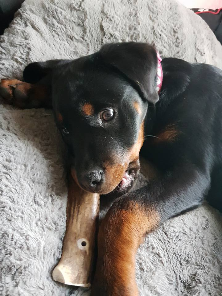 Antler chew for teething puppies