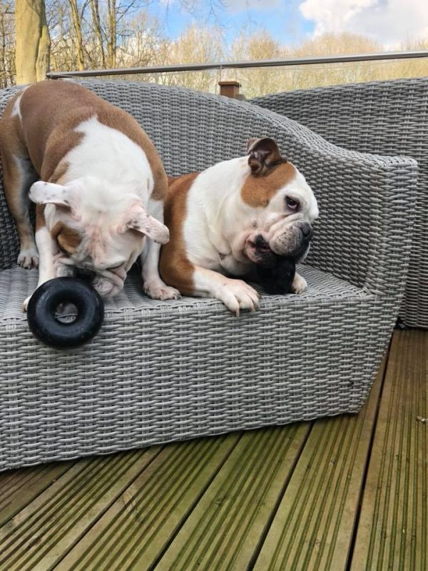 Indestructible doy toy for bulldogs